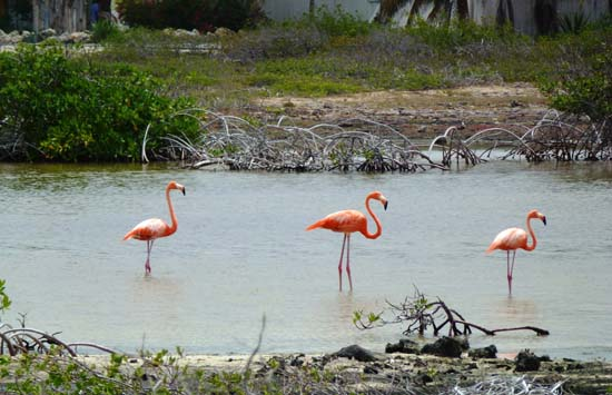 flamans_rose