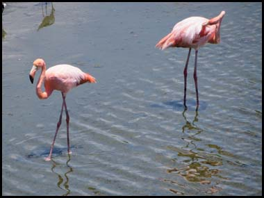 flamans rose isabella