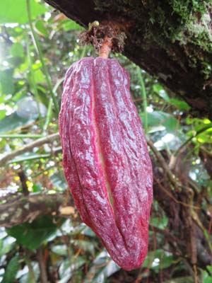 fruit cacao