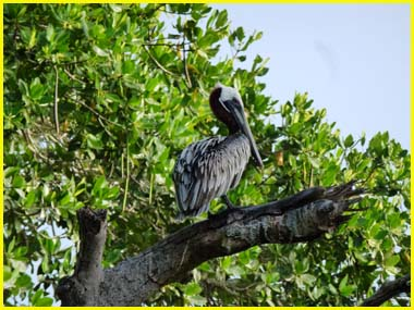 pelican aux aves